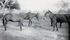 Mules in the Royal Indian Army Service Corps